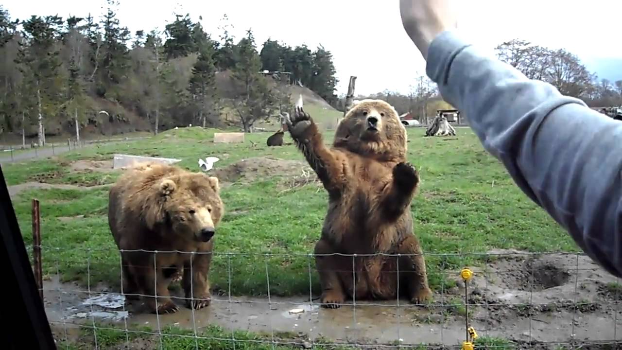 bear waving gif | GIF Images Download Cute Grizzly Bear Waving